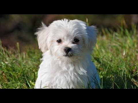 bichon maltese puppies bichon maltese dog breed youtube 2082