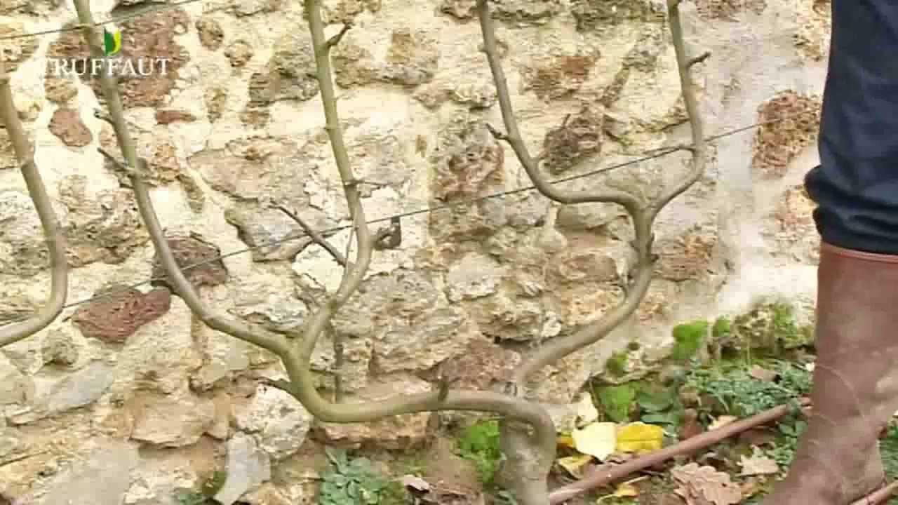 Planter des arbres fruitiers paliss s jardinerie truffaut tv youtube - A quel moment tailler les rosiers ...