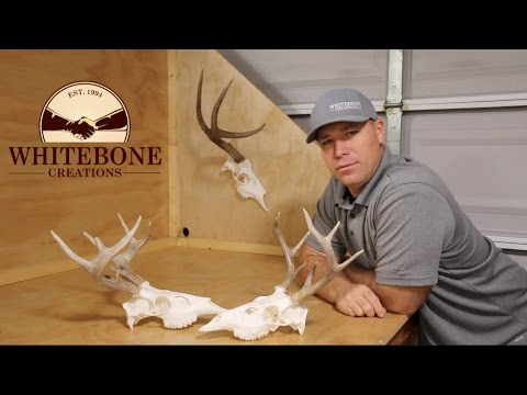 "HOW TO CLEAN A WHITETAIL DEER SKULL ""GRAPHIC"""