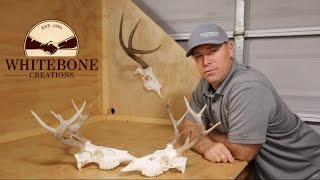 HOW TO CLEAN A WHITETAIL DEER SKULL