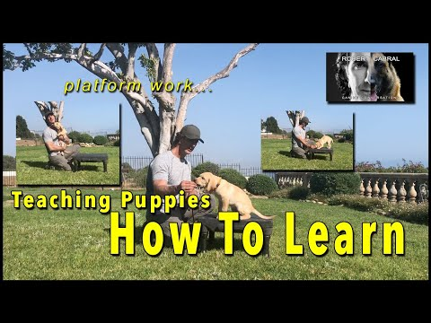 Teach Your PUPPY How to Learn - the puppy platform positions - The EASY Way to Train your PUPPY