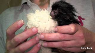 Black lion tamarin birth at Durrell Wildlife park