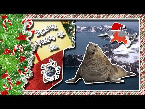 Elefante Marino del Sur |El científico del mar| (Animales del Mundo) |Mes navideño|