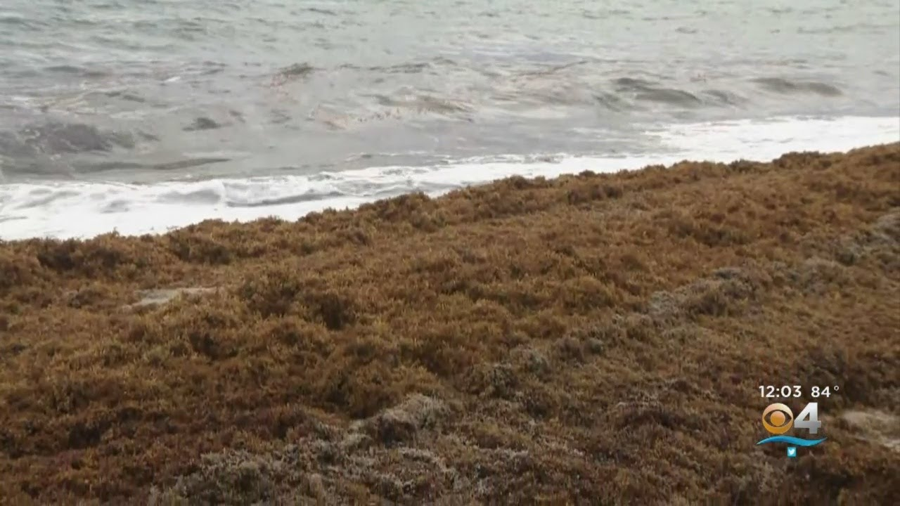 Sargassum Seaweed Clean-Up Taking Place On Miami Beach