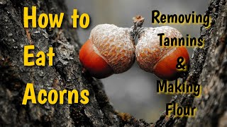 How to Eat Acorns: Removing Tannins and Making Flour