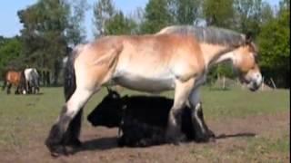 Лошадь чешется об рога буренки.(, 2014-10-29T20:15:53.000Z)