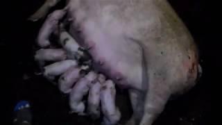 Опорос свиноматки породы пьетрен+ландрас  28.02.19.10 новорождённых поросят 7 живых.