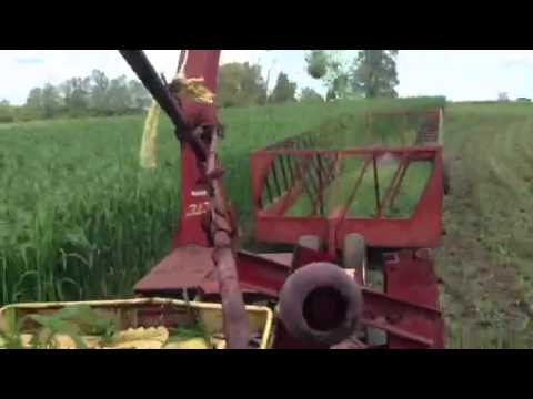 Green chopping sorghum for the cows