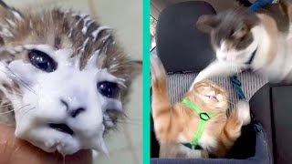BEST CAT MEMES COMPILATION OF 2020 PART 19 (FUNNY CATS)