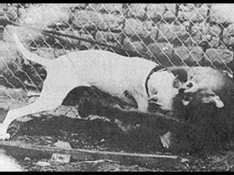 EL DOGO ARGENTINO  ( THE   HISTORY  )  ARGENTINIAN MASTIFF