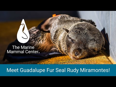 Guadalupe fur seal Rudy Miramontes at The Marine Mammal Center