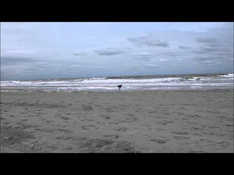 Chester the Manchester Terrier sprinting