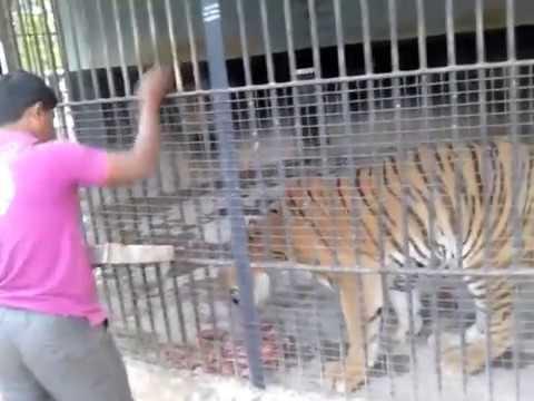Man feeding Tiger at Bellary zoo