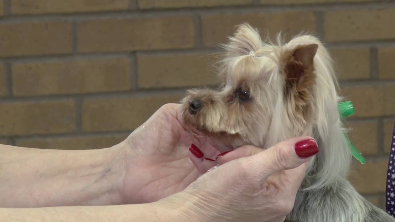 Dog Grooming Yorkshire Terrier With An Asian Butterfly Head Style