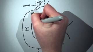 Duodenal Anatomy