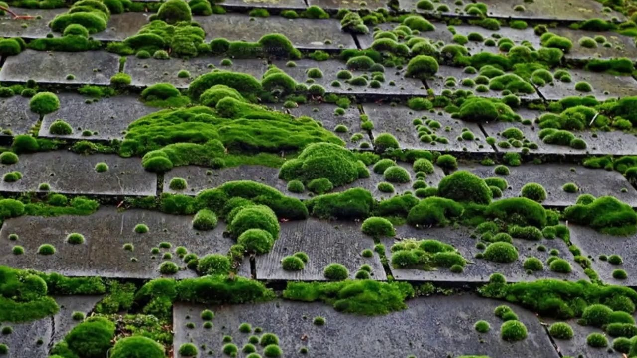 Best Bellevue Wa Roof Moss Removal
