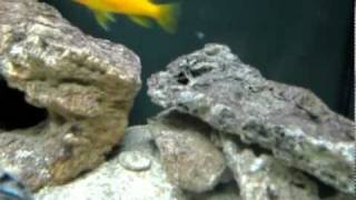 African Cichlids In Wall Fishtank!
