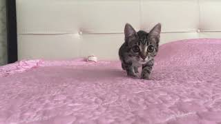 Kitten being dramatic 😸 | Kitten attack | Cat Attack | vicious predator!!!