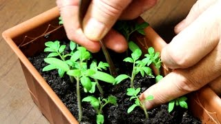 видео Пикировка томатов