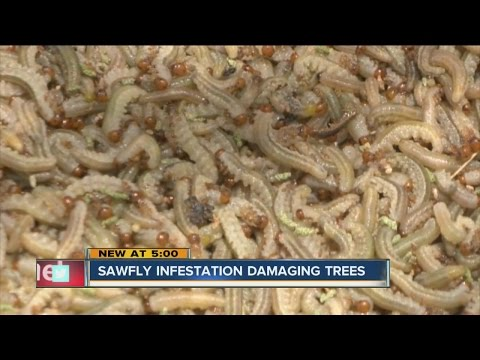 Sawfly infestation in Elbert County