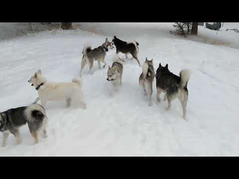 running of the Alaskan Klee Kai
