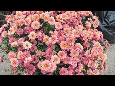 Хризантемы из магазина.  Как сохранить зимой