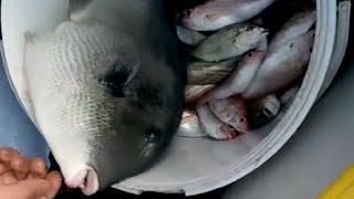 İskenderun Körfezi Domuz Balığı Avı - www.balikavciligi.org