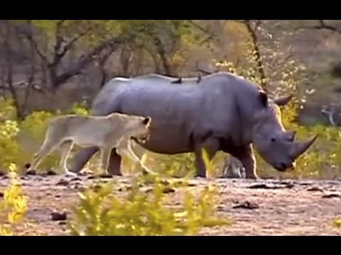 White Rhinoceros clashing with Lions at Renosterpan in KNP
