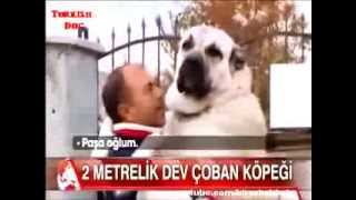 Turkish Dog Kangal 100kg & 2 meter - World's Biggest Dog !!!