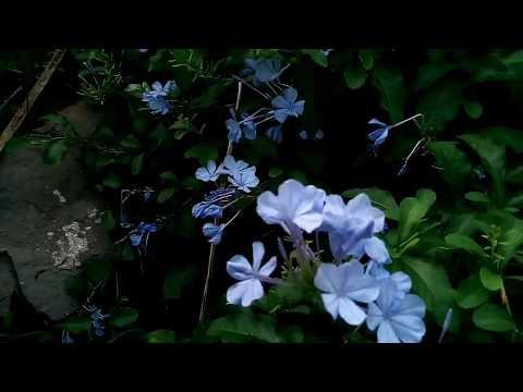 Plumbargo de flores azules