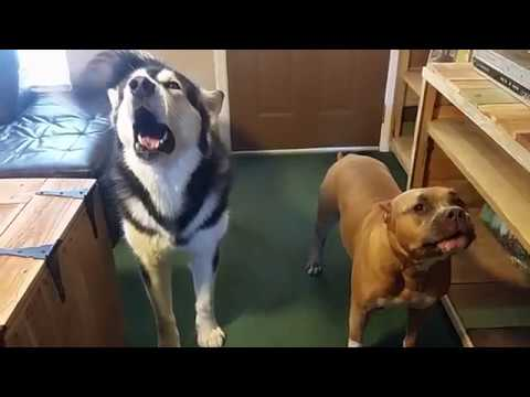 Have you ever seen a Pitbull Howl? Howling Featuring Capone (Pitbull) & Tonka (Alaskan Malamute)