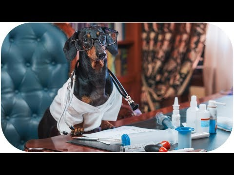 Return of funny Dachshund dog MD! Try not to laugh or grin!