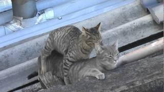 Gatos apareándose - Cats Matting  videosucesos.com