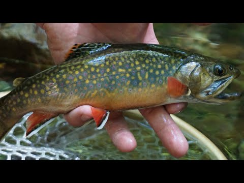 NATIVE TROUT FISHING (WEST VIRGINIA)