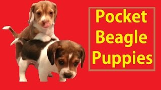 Pocket Beagle Puppies Cute Tiny Beagles Puppy Akc