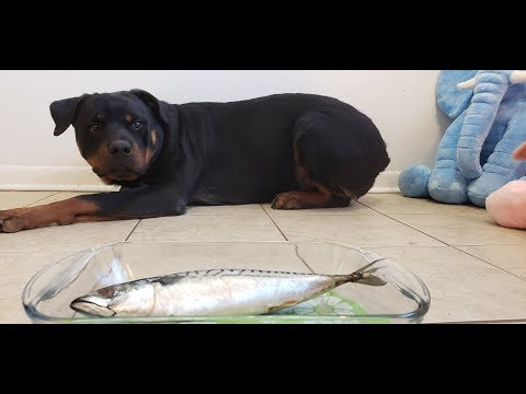 Rottweiler Eating Raw Whole Fish|whole Mackerel With Sound!