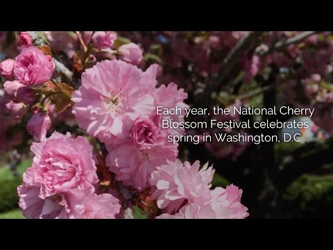 Visiting the National Cherry Blossom Festival in Washington, D.C.