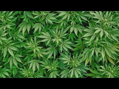 Music of the plants - CANNABIS - 432 Hz