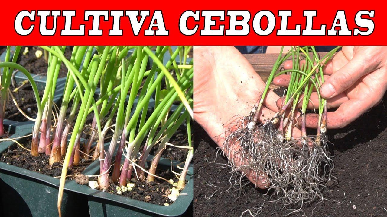 El CULTIVO DE LA CEBOLLA desde semilla en mesa de cultivo – Siembra y plantado –
