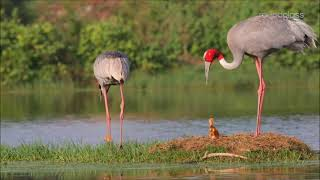 Songs of Love: Sarus Cranes' Lifelong Romance