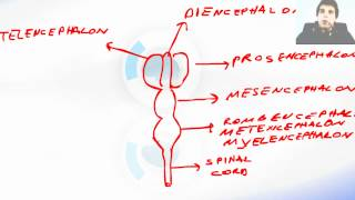 Lessons And 3D Anatomy Software:  Fetal Brain Development 2