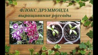Флокс Друммонда - выращивание рассады. Регенератор листьев.