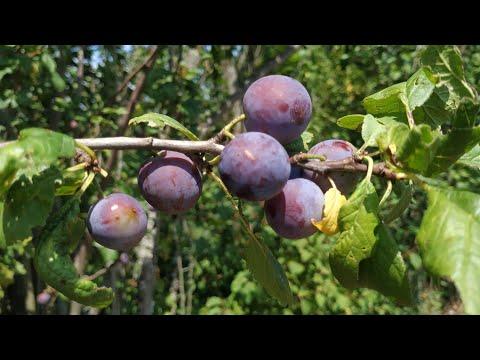 Feral Damson Plum / Bullace ? (Prunus domestica ssp insititia?)