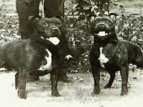 Staffordshire Bull Terrier part1
