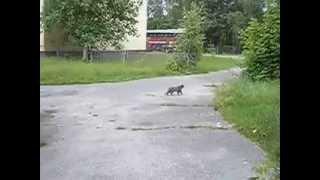 Чернобыль, Chernobyl - кошечка, животные