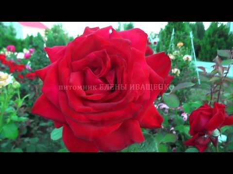ОГРОМНЕЙШИЕ ЦВЕТЫ. Цветение розы Супер Гранд Аморе. питомник роз ЕЛЕНЫ ИВАЩЕНКО