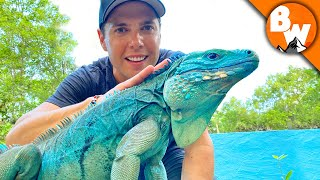 Blue Iguana Fights Extinction and Wins!