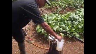 Aplikasi Pupuk Organik Cair Biofarm Pada Tanaman Sawi