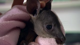 Caring for a Baby Wallaby | BBC Earth