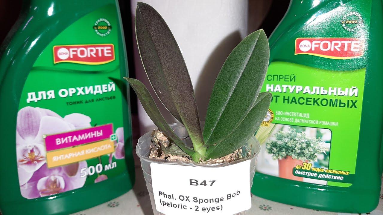 Новая Орхидея - Малыш 1,7' | Phal. OX Sponge Bob ( reloric- 2 eyes)